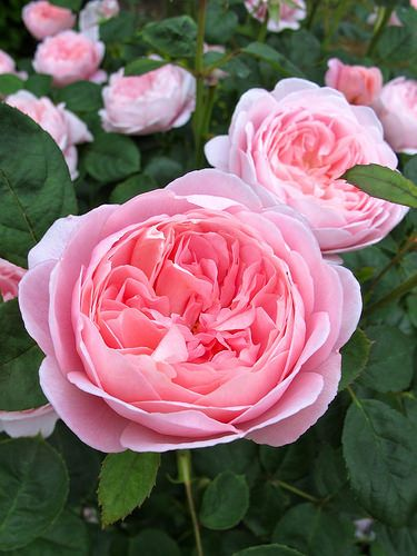 Queen of Sweden: English Shrub Rose