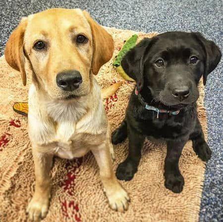 Adoptable Dogs And Puppies Near Me Labrador Yellow Labrador Puppy