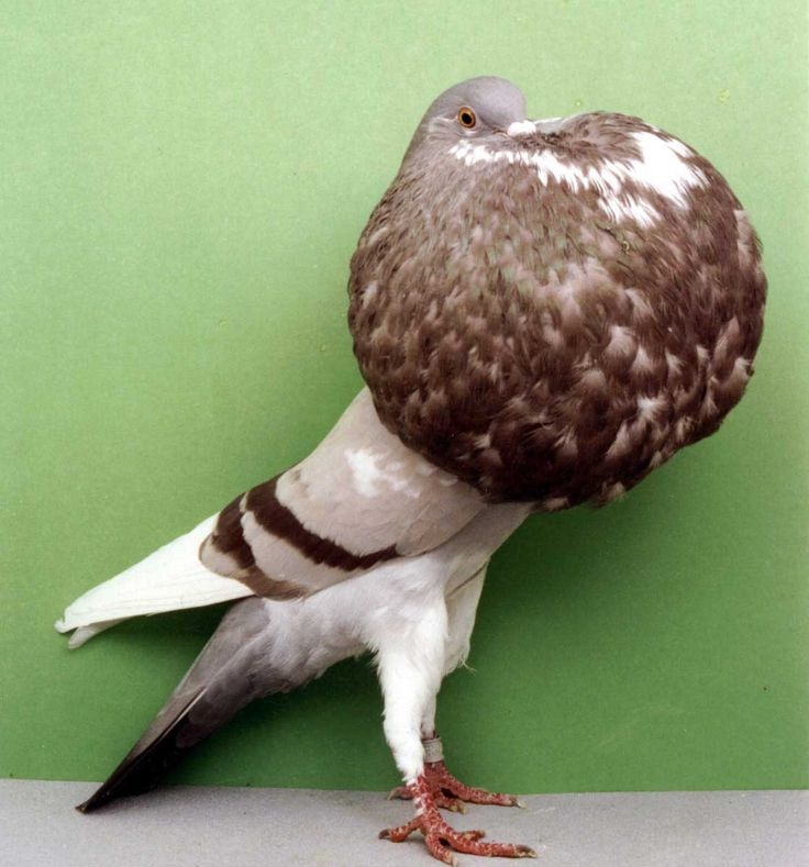 Norwich Cropper Pigeon Pictures ~ ENCYCLOPEDIA OF PIGEON BREEDS