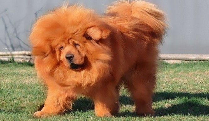 TIBETAN MASTIFF SELLS FOR $1.9 MILLION to a Çhinese businessman. Little out of price range, and I can't imagine what feeding him will cost!