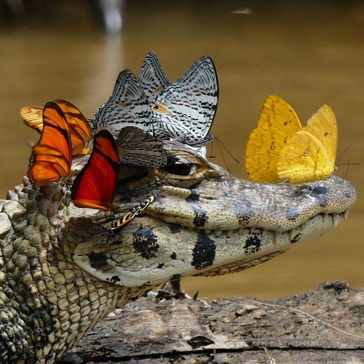 """Um Caiman yacare, ou jacaré-do-pantanal, foi flagrado com uma """"coroa"""" de borboletas coloridas. O animal aparece descansando na margem de um rio, com mais de dez borboletas de diferentes espécies pousadas em sua cabeça. Quem fez o registro foi Mark Cowan, pesquisador da Universidade de Michigan (EUA), em visita à América do Sul."""
