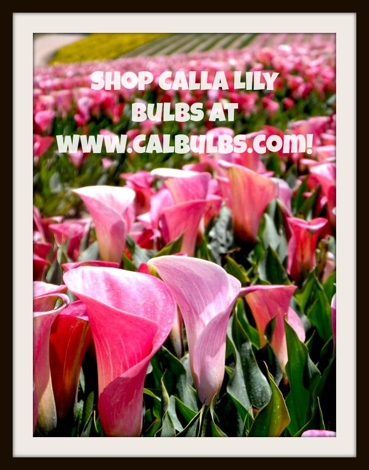 24 best Mini Callas images on Pinterest | Calla lilies, Calla ...