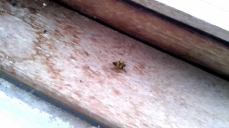 spin vangt wesp