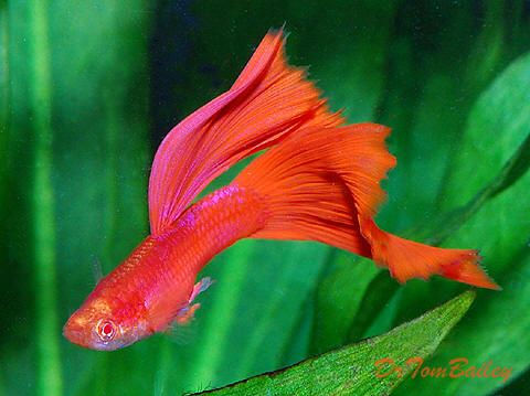 Fancy red eye red guppies at where you for Guppy fish for sale