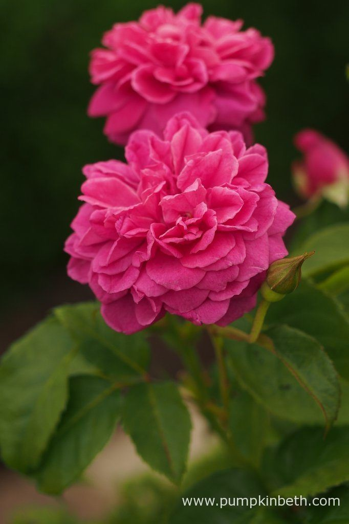 Rosa 'James L. Austin' grows to 3.5 ft (1.2m) tall, and 2ft (60cm) wide.