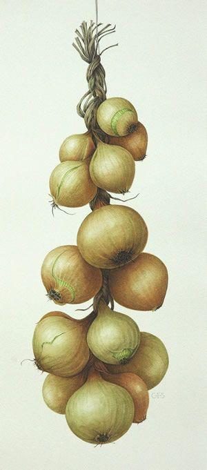 Onions  Watercolour by botanical artist Christine Stephenson