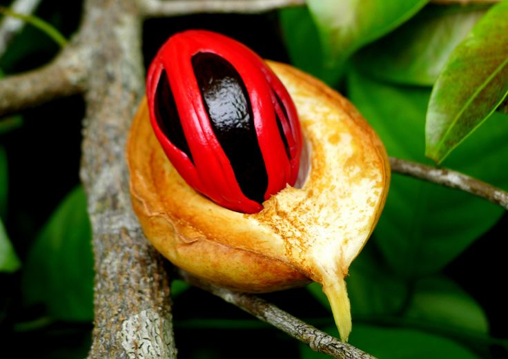 Mace: the aril of the nutmeg seed, which is used for flavouring many dishes!