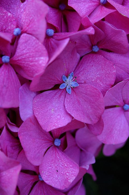 Hydrangea is a genus of 70-75 species of flowering plants native to southern and eastern Asia and the Americas. By far the greatest species diversity is in eastern Asia, notably China, Japan, and Korea - http://furkl.com/hydrangea-flower/