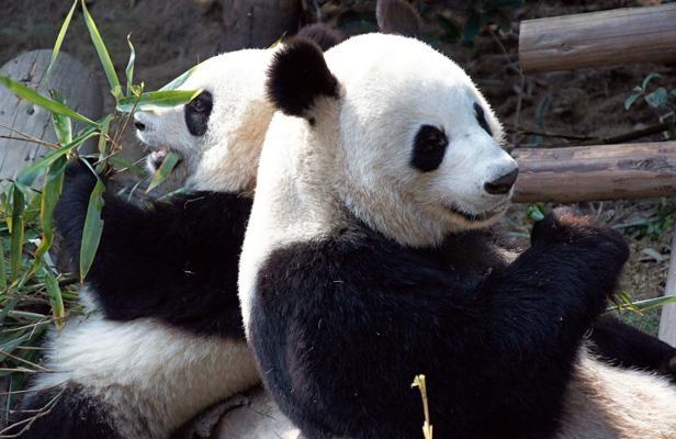 Pandas de Beauval