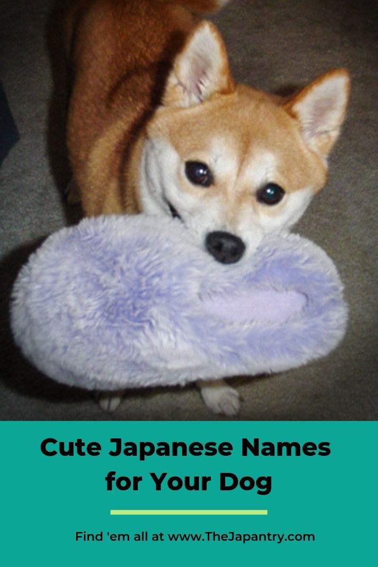 Cute Japanese Names For Your Dog The Japantry In 2020 Cute Dog Names Boy Cute Names For Dogs Japanese Dogs