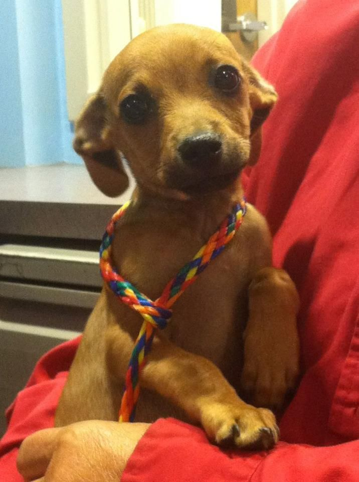 Meet Smoochie!! He's a chi-weenie (chihuahua/wiener dog mix) and he's only 3 months old.  This little sweetie was our featured Pet Pal on our July 23rd edition of Good Morning Northwest.