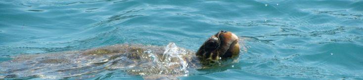 Closeup of a loggerhead sea turtle  check it out at http://wildlifesense.com