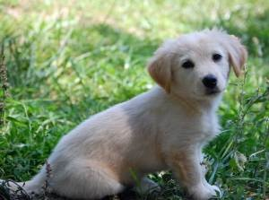 Trixie is an adoptable Golden Retriever Dog in Stroudsburg, PA. 6/26/12 This is Trixie G. We know her mom was a dachshund mix but looking at this puppy it seems like dad could have been a Golden ret o...