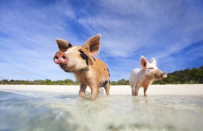 Big major cay exuma Bahamas is where you can swim with these cute little pig and piggies   • • • • • • • •   #travelwriter #travel #instatravel #travelgram #tourism #instago #passportready #travelblogger #wanderlust #ilovetravel #writetotravel #instatravelling #instavacation #travelblogger #instapassport #postcardsfromtheworld #traveldeeper  #travelstroke #travelling #trip #traveltheworld #igtravel