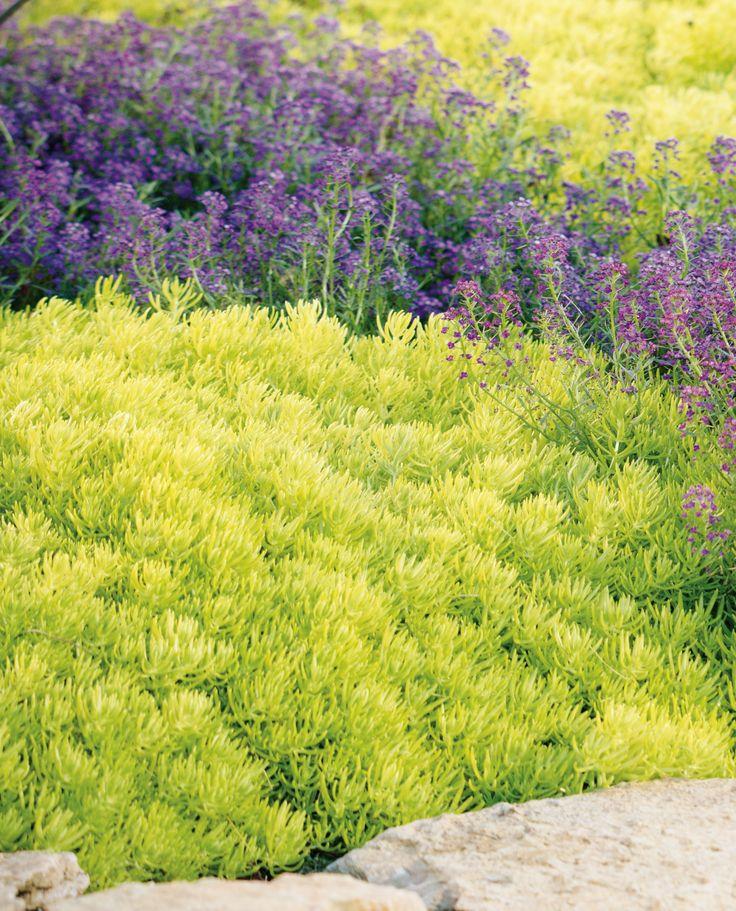 Proven Accents 174 Lemon Coral 174 Sedum Mexicanum Sedum Plant Plants Landscaping Plants