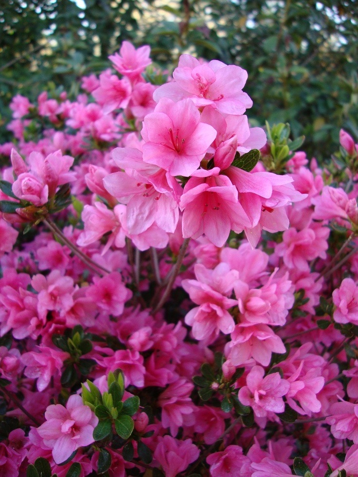 AzaleasSpring Time, Outdoor Backyards, Gardens Pools, Louisiana Plants, Front Yards, Yards Gardens, Plants In Louisiana, Gardens Flow, Gardens Yards Landscapes