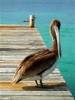 Brown Pelican ~ A wonderful bird is the pelican - his beak can hold more than his belly can!