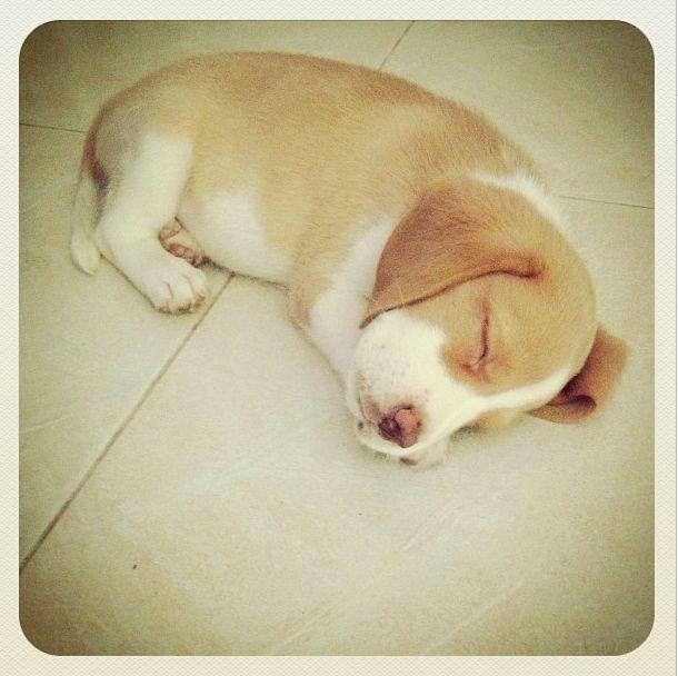 Chilli the lemon beagle / sleeping beauty