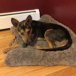 New York Ny German Shepherd Dog Meet Bobo A Dog For Adoption