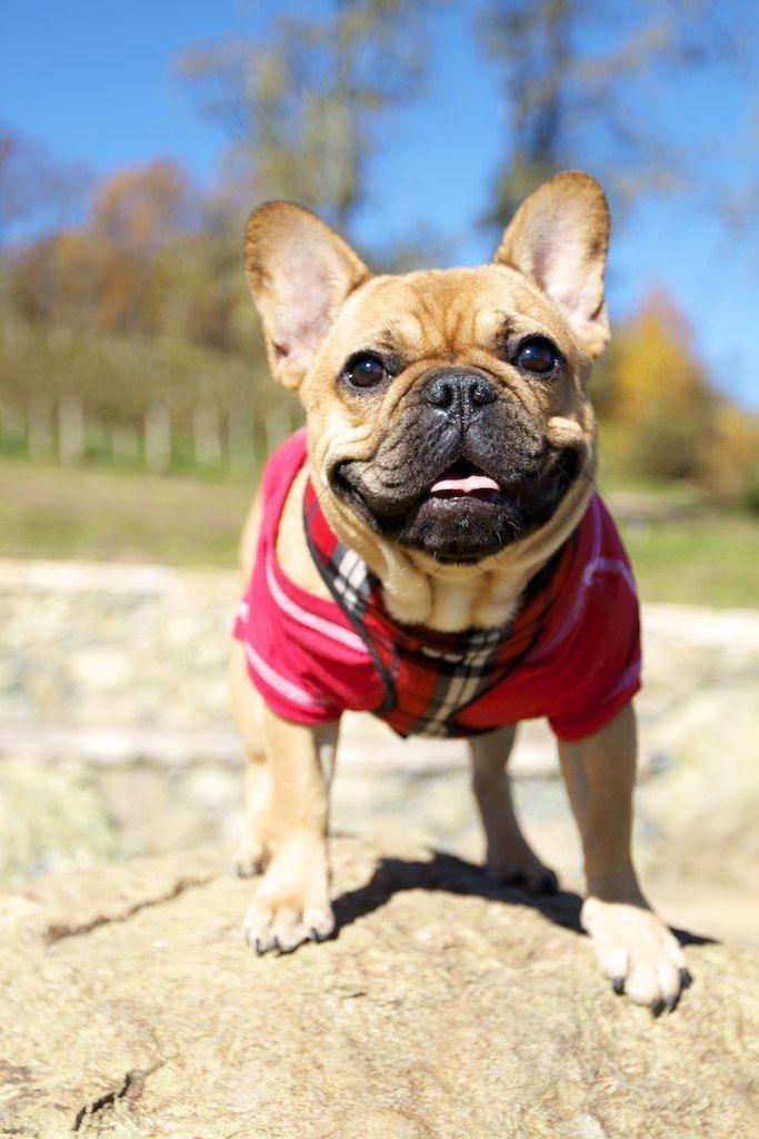 Bulldog puppy to adult