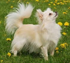foto honden rassen chiwawa - Google zoeken