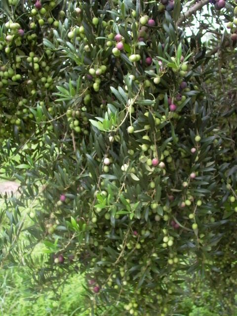 An Arberquina olive tree loaded with fruit. Arbequina makes great retail trees since the trees will grow as small plants in containers or medium 10ft or so trees in an orchard. Fruit size - small Olive Oil - The most planted oil olive in CA, and is a great oil Table Fruit - bad idea