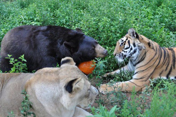 Невероятная дружба льва, тигра и медведя