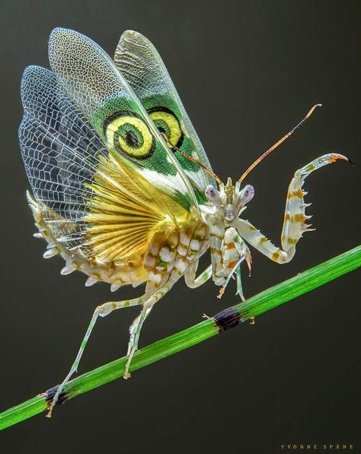 Spiny Flower Mantis (Pseudocreobotra wahlbergii) By Yvonne Spane https://plus.google.com/101486277740590903726/posts/AK77ieTTsVe
