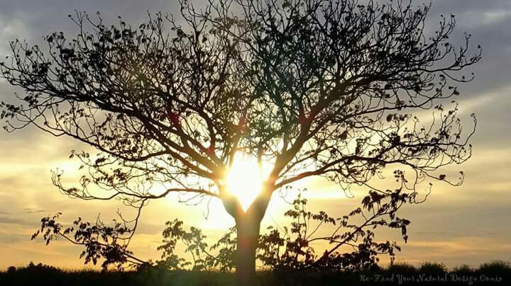 Tree shines at Loxton in The Riverland. At sunrise.