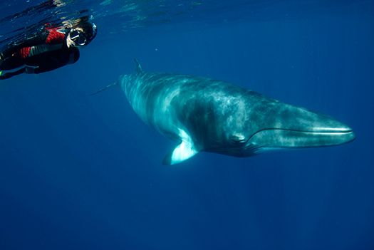 Swimming with Minke Whales, Queensland