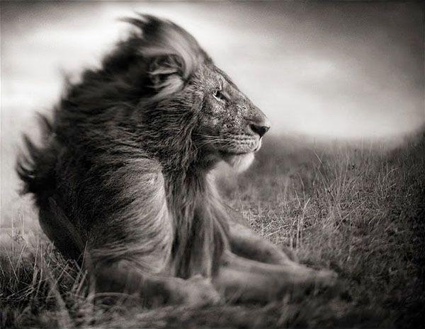 Leon Masai Mara.  Nick Brandt es un fotógrafo inglés conocido como autor del libro On This Earth, donde retrata a la fauna salvaje del este de Africa con un estilo muy personal.  A diferencia de otros fotógrafos de vida salvaje, se hace valer del blanco y negro para mostrar a los animales de una forma diferente a la habitual. Este es parte de su excelente trabajo.