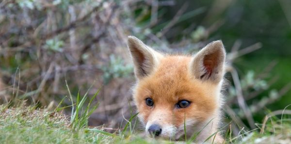 Petition: prefecture@seine-maritime.gouv.fr: Do not shoot the Fox family of Joan of Arc High School. Protect them!