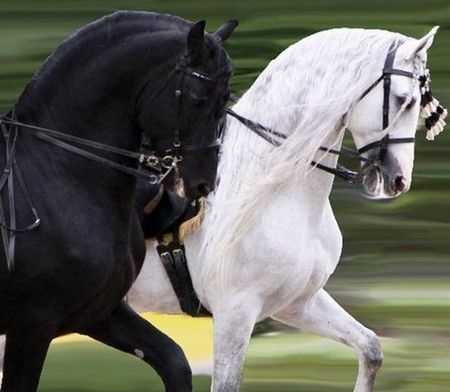 A Friesian & Andalusian Horses makes a striking pair! The little girl in me loves black and white beauties!
