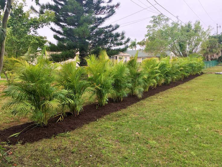 Areca palm hedge Plant 3-6ft apart | courtyard ideas