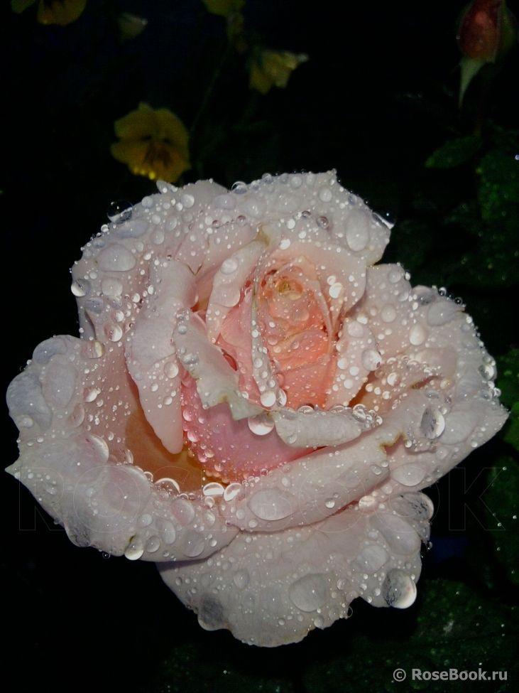 "Rose "" Paul Bocuse ® "" , (MASpaujeu) , Dominique Massad (France, 1992)"
