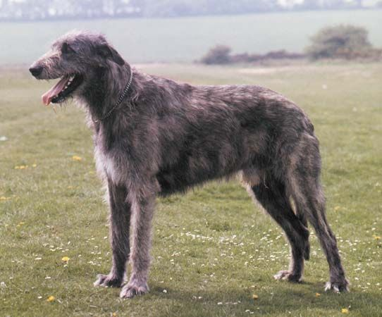 Irish Wolfhound. They are members of the hound group. They are great irish elk/wolf hunter and family companions. They stand at 30-34 inches at the shoulder and weigh about 105-120 pounds.