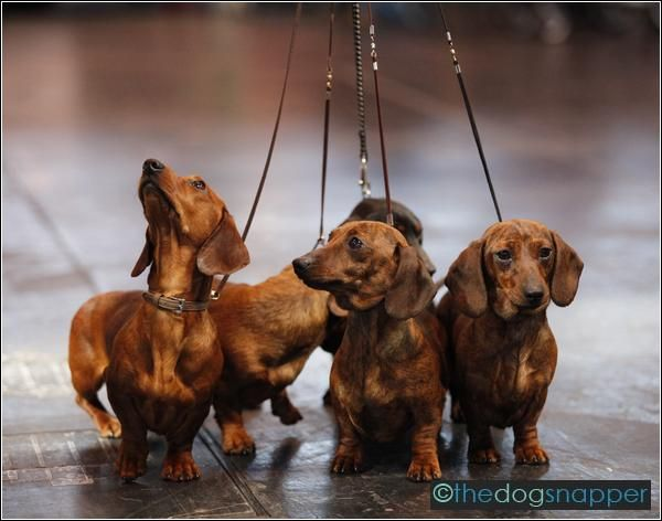 """""""Are you leading us on?"""" #dogs #pets #Dachshunds Facebook.com/sodoggonefunny"""
