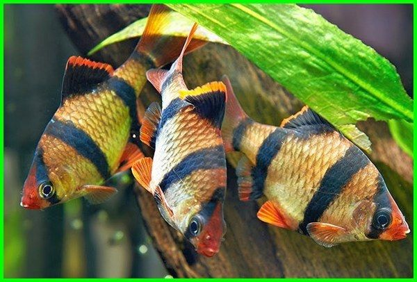 Green Tiger Barbs Puntius Tetrazona Tropical Fish Aquarium Fish Tank Tropical Fish Aquarium