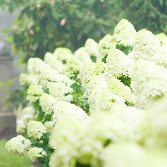 Flowers of Limelight hydrangea vary from pastel green in cool climates to creamy white in the South, or as summer heat progresses. In autumn the trusses may turn pink. It makes a dense, deer-resistant screen and requires no special care.  Name: Hydrangea paniculata 'Limelight'  Growing Conditions: Full sun to part shade; moist well-drained soil  Size: To 8 feet tall; 4-6 feet wide  Zones: 4-9