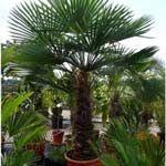 Photo de Palmier chanvre, Trachycarpus fortunei