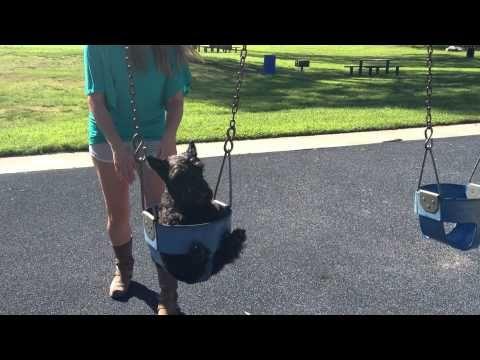 Omm, the Scottish Terrier who loves swings! - YouTube