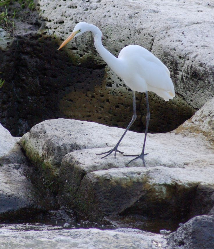 white heron looking for evening meal