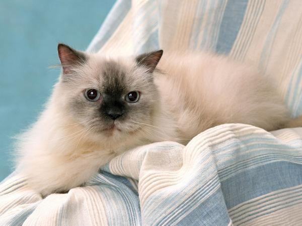 O gato Himalaio é pura doçura não é mesmo? Saiba tudo sobre ele aqui! #gatos #cats #animais #himalaio #himalayan