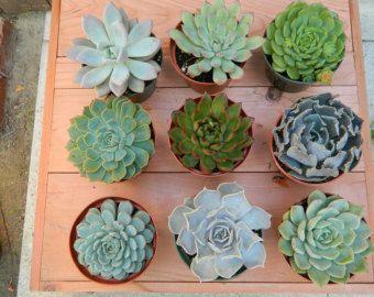Plantes succulentes de Rosette succulentes dragées par tobieanne