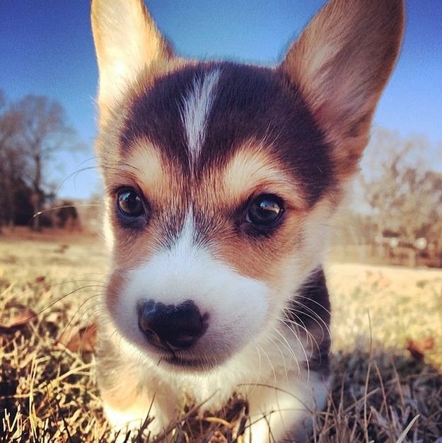 Why? | Don't Be Sad, Look At These Corgi Puppies (Corgis are the best! #mylucy)
