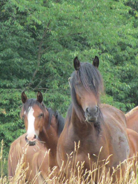 He makes my life whole ❤️ NoDoubt van Haflonië #horse #Fraflo #mix #Friesian #Haflinger #Shagya Arabier