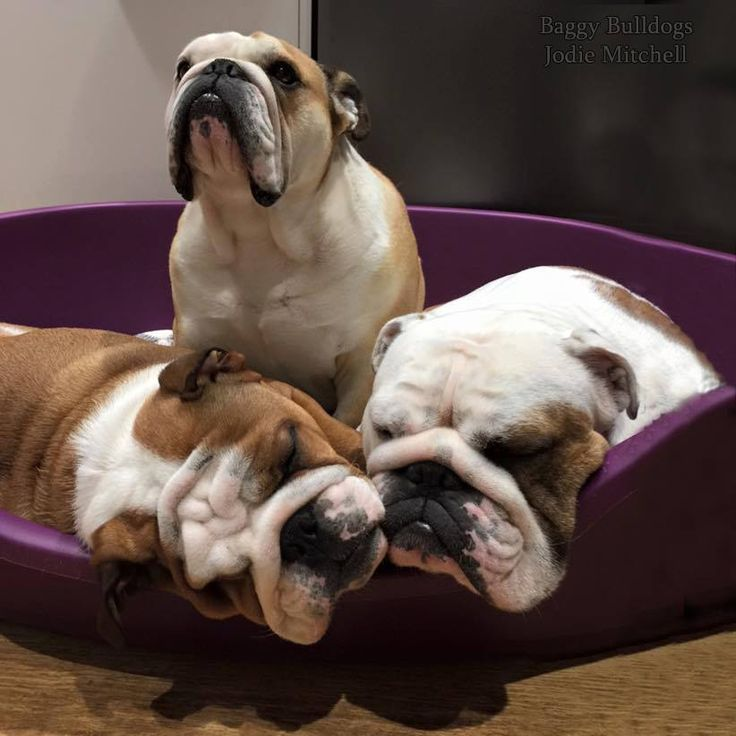 english bulldog training 1 baggy bulldogs timeline photos bulldog cuteness 6088
