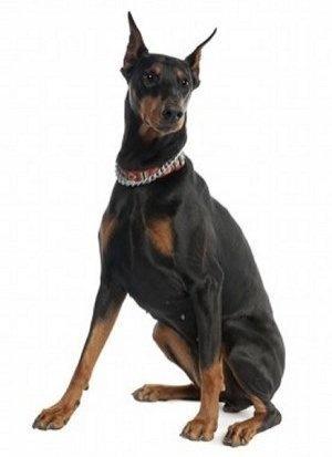 Image detail for -Doberman Puppies for Sale, Doberman Breeder India
