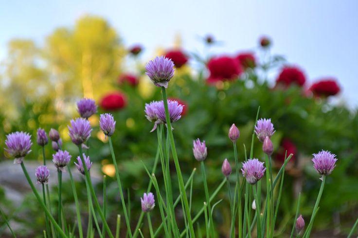 Gräslök och bondpion. #trädgård #odla #garden
