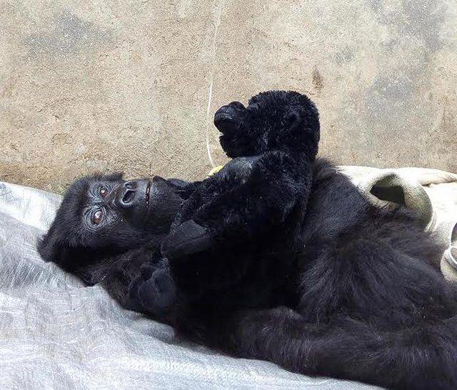 Rescued baby gorilla